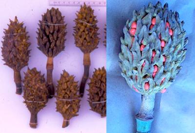 Magnolia vovidesii - Semilla de magnolia ...