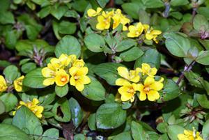 Monedita de flor amarilla