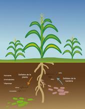 Bacterias, aliadas de la agricultura