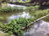 Innovadores humedales flotantes: plantas y bacterias aliados en el mejoramientos de la caliddad del agua