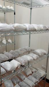 La producción de inóculo para el cultivo de hongos comestibles en México