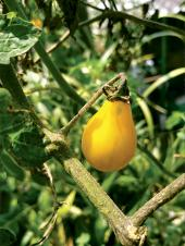 La planta madre del jitomate, un aporte ancestral