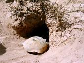 La tortuga llanera, una especie clave, símbolo de la Reserva de la Biosfera de Mapimí